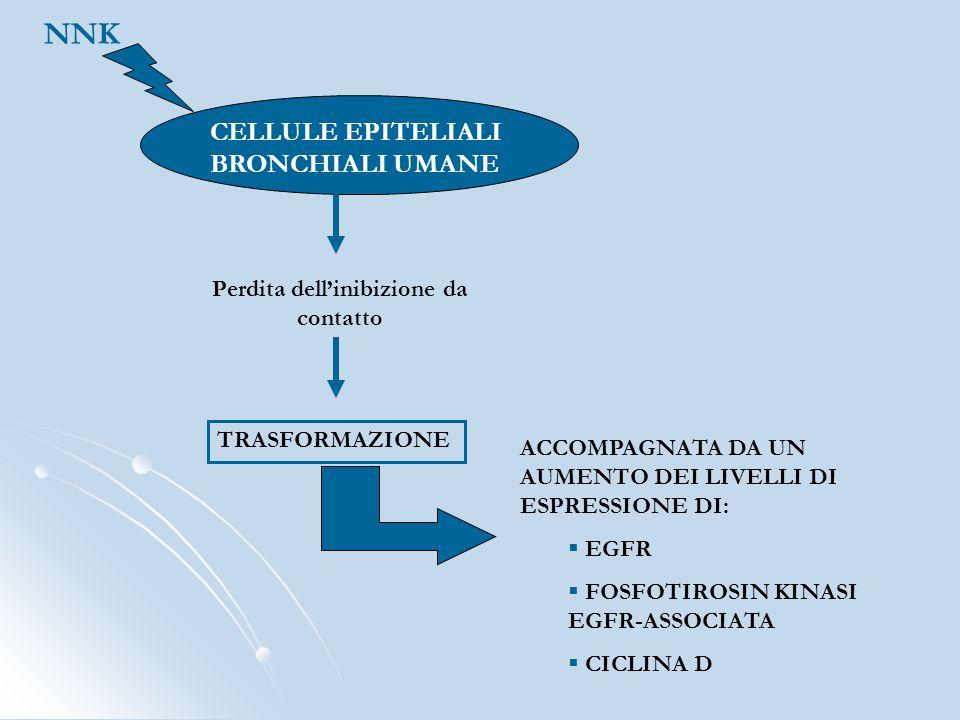 CELLULE EPITELIALI BRONCHIALI UMANE NNK Perdita dellinibizione da contatto TRASFORMAZIONE ACCOMPAGNATA DA UN AUMENTO DEI LIVELLI DI ESPRESSIONE DI: EG