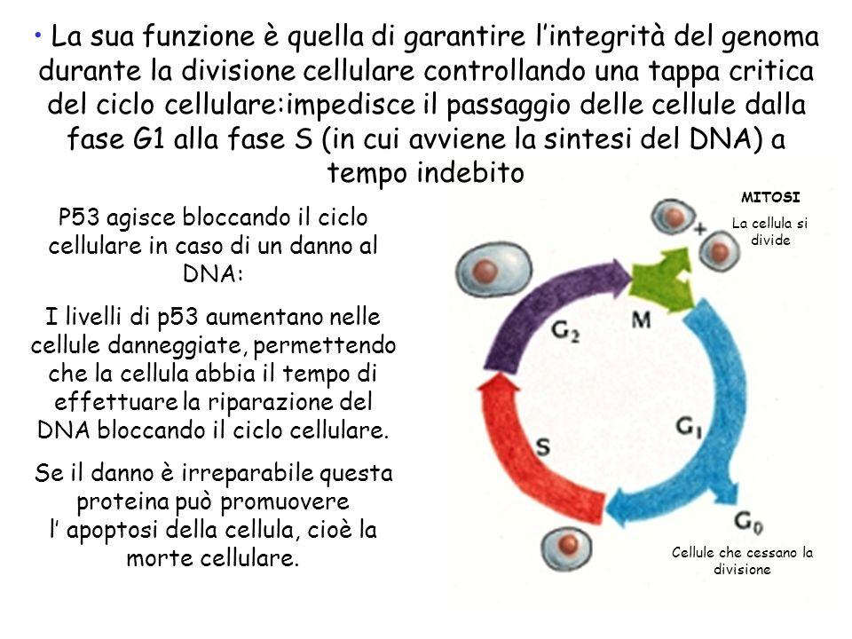 La sua funzione è quella di garantire lintegrità del genoma durante la divisione cellulare controllando una tappa critica del ciclo cellulare:impedisc