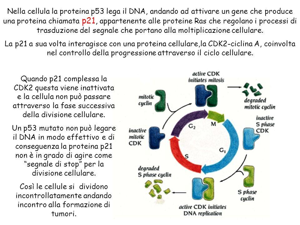 Nella cellula la proteina p53 lega il DNA, andando ad attivare un gene che produce una proteina chiamata p21, appartenente alle proteine Ras che regol