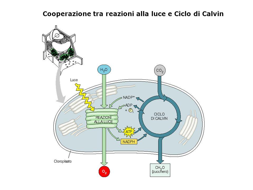 Cooperazione tra reazioni alla luce e Ciclo di Calvin