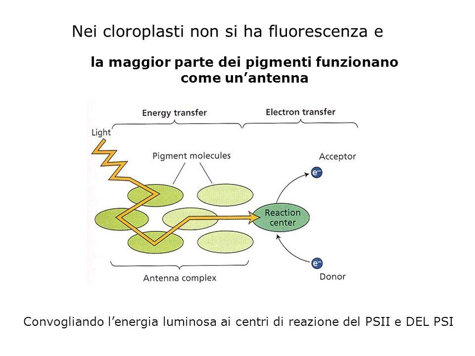 la maggior parte dei pigmenti funzionano come unantenna Nei cloroplasti non si ha fluorescenza e Convogliando lenergia luminosa ai centri di reazione