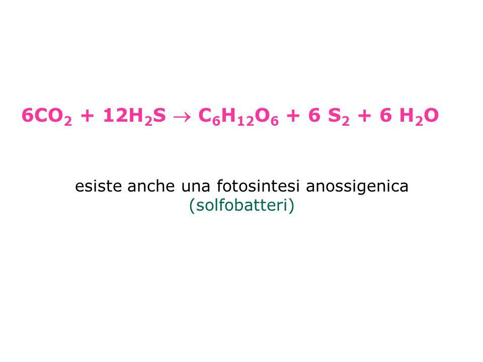 6CO 2 + 12H 2 S C 6 H 12 O 6 + 6 S 2 + 6 H 2 O esiste anche una fotosintesi anossigenica (solfobatteri)