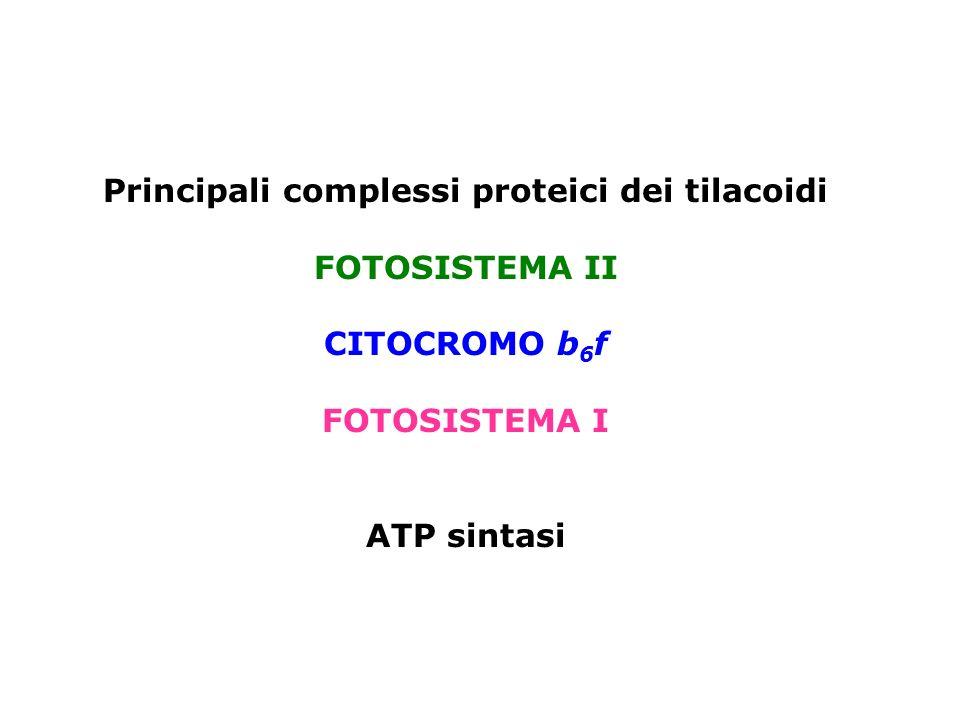 Principali complessi proteici dei tilacoidi FOTOSISTEMA II CITOCROMO b 6 f FOTOSISTEMA I ATP sintasi