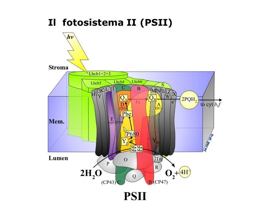 Il fotosistema II (PSII)