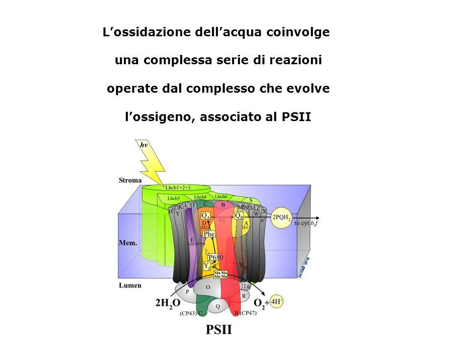 Lossidazione dellacqua coinvolge una complessa serie di reazioni operate dal complesso che evolve lossigeno, associato al PSII