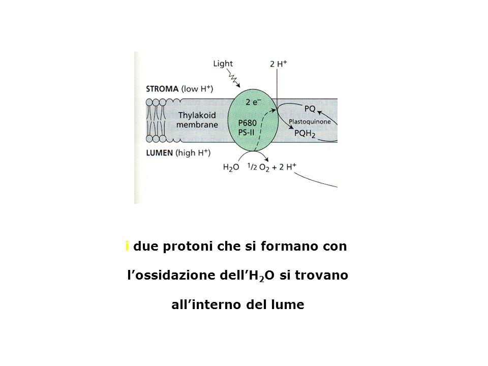 i due protoni che si formano con lossidazione dellH 2 O si trovano allinterno del lume