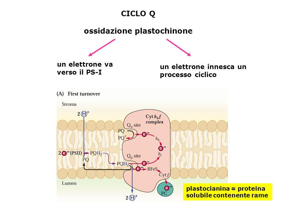 CICLO Q ossidazione plastochinone un elettrone va verso il PS-I un elettrone innesca un processo ciclico plastocianina = proteina solubile contenente