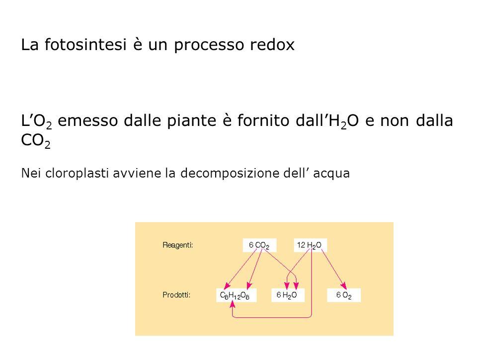 La fotosintesi è un processo redox LO 2 emesso dalle piante è fornito dallH 2 O e non dalla CO 2 Nei cloroplasti avviene la decomposizione dell acqua
