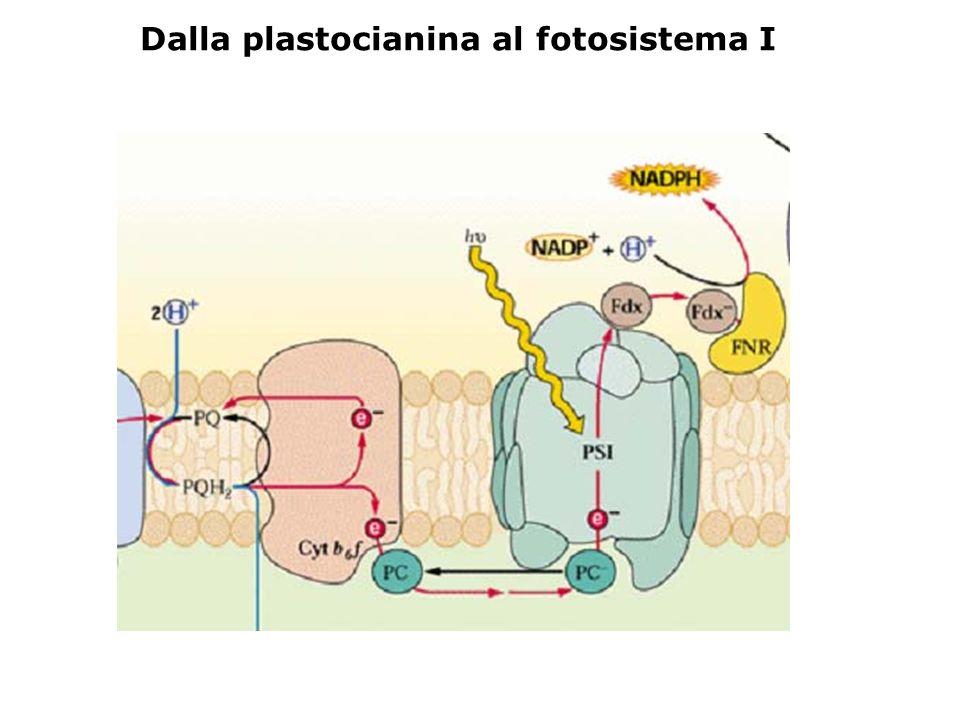 Dalla plastocianina al fotosistema I