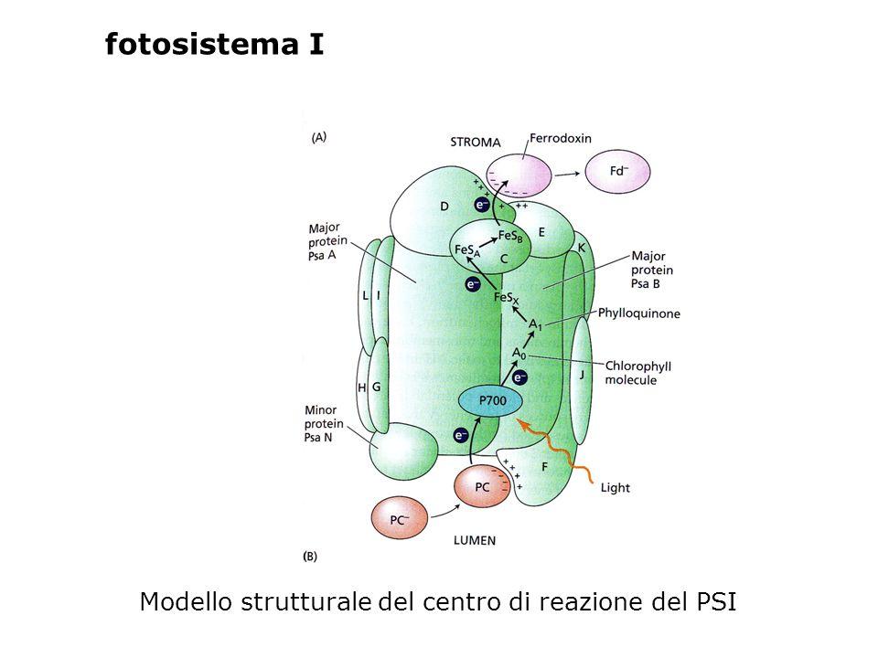 Modello strutturale del centro di reazione del PSI fotosistema I