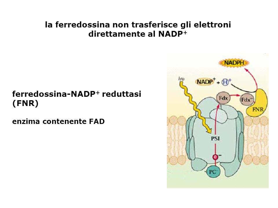 la ferredossina non trasferisce gli elettroni direttamente al NADP + ferredossina-NADP + reduttasi (FNR) enzima contenente FAD