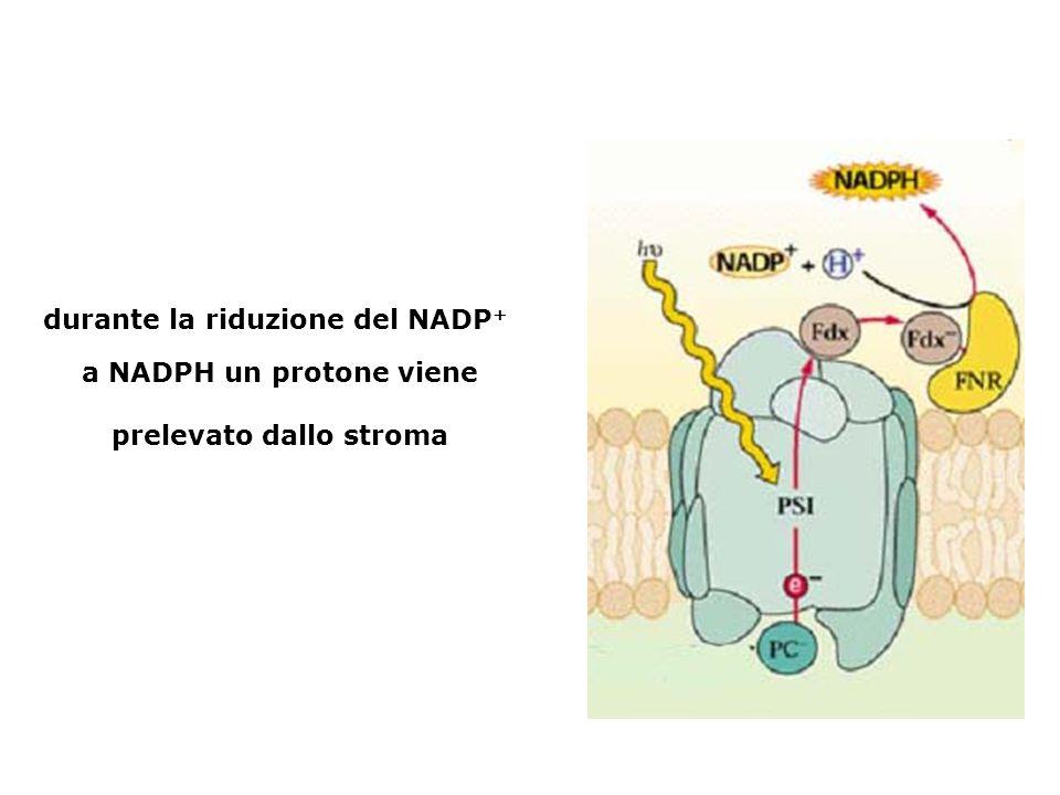 durante la riduzione del NADP + a NADPH un protone viene prelevato dallo stroma
