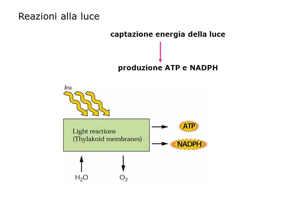 captazione energia della luce produzione ATP e NADPH Reazioni alla luce