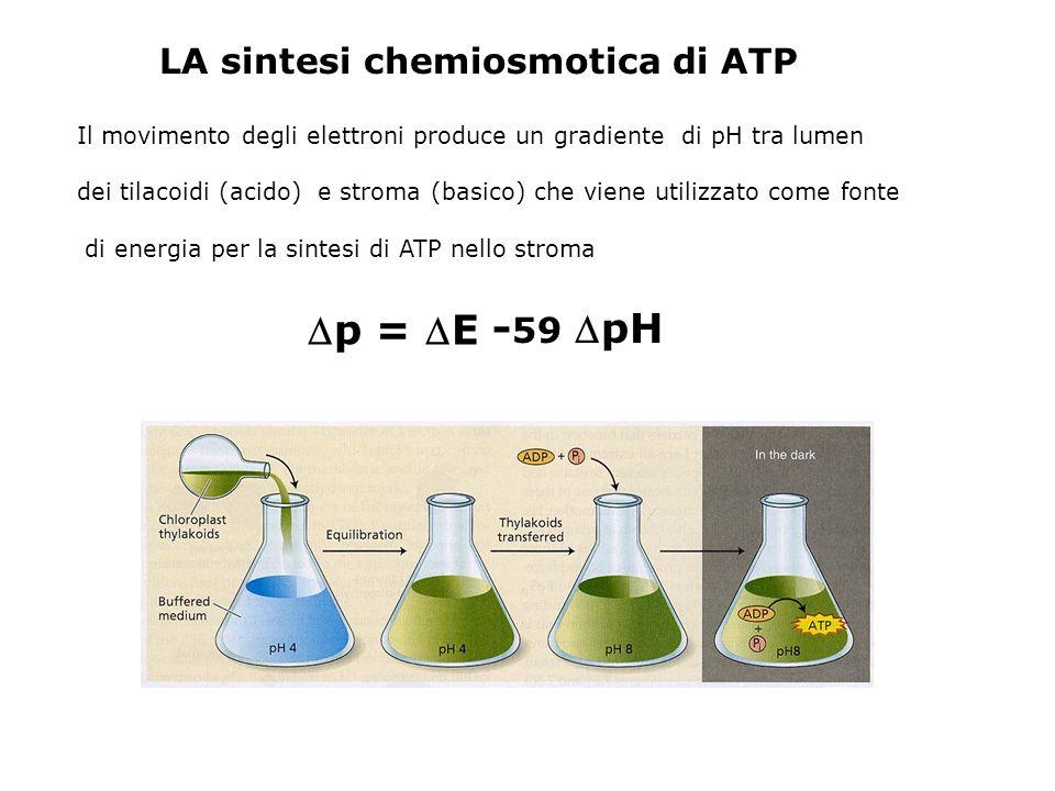 p = E - 59pH LA sintesi chemiosmotica di ATP Il movimento degli elettroni produce un gradiente di pH tra lumen dei tilacoidi (acido) e stroma (basico)