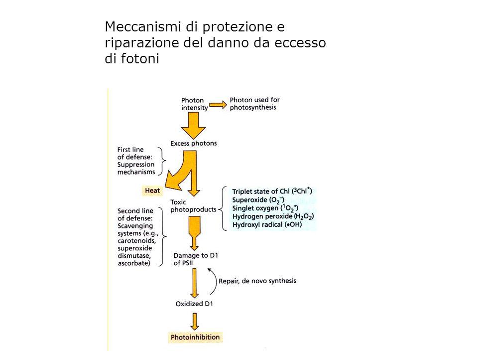 Meccanismi di protezione e riparazione del danno da eccesso di fotoni