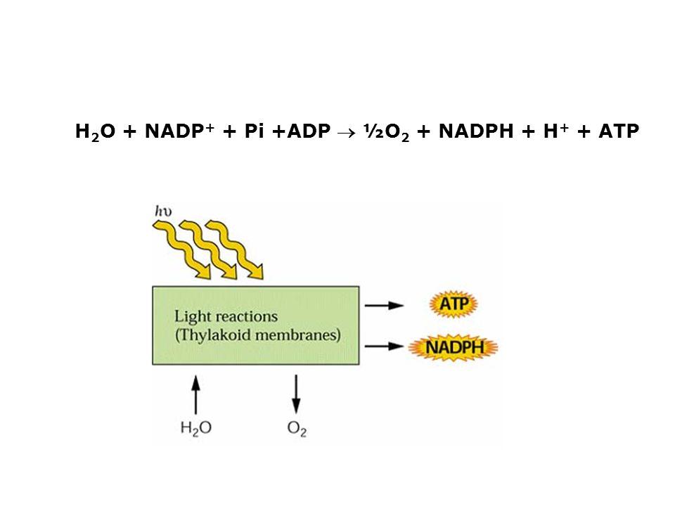 H 2 O + NADP + + Pi +ADP ½O 2 + NADPH + H + + ATP