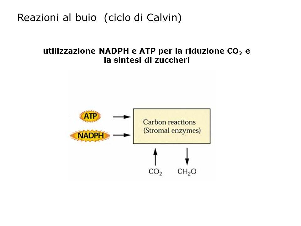 utilizzazione NADPH e ATP per la riduzione CO 2 e la sintesi di zuccheri Reazioni al buio (ciclo di Calvin)