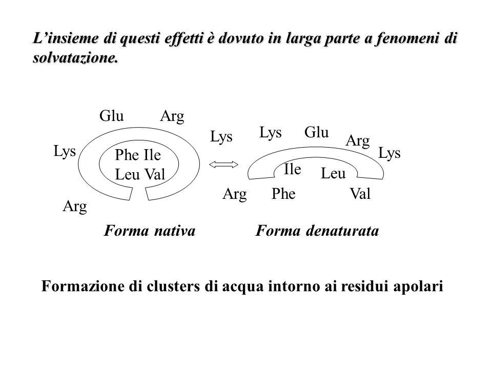 Linsieme di questi effetti è dovuto in larga parte a fenomeni di solvatazione. Glu Arg Phe Ile Leu Val Lys Arg Lys Arg GluLys Phe Ile Leu Val Forma na
