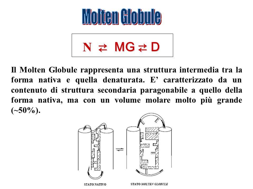 N MG D Il Molten Globule rappresenta una struttura intermedia tra la forma nativa e quella denaturata. E caratterizzato da un contenuto di struttura s