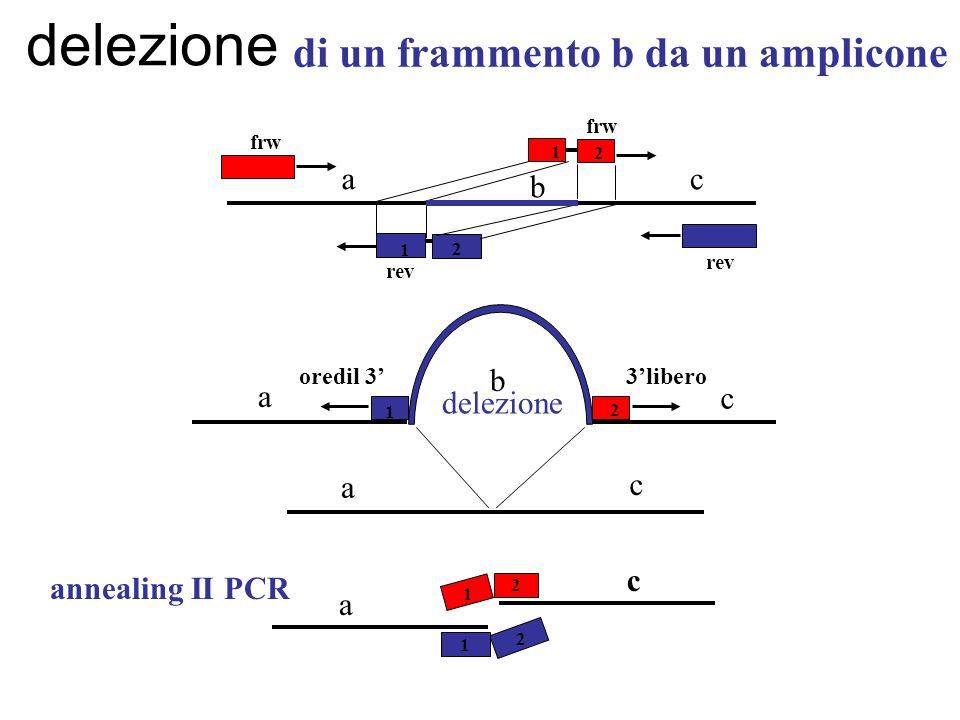 di un frammento b da un amplicone 1 1 2 frw rev a b c delezione a b a c 1 2 c 3liberooredil 3 2 1 2 2 2 1 c a annealing II PCR delezione