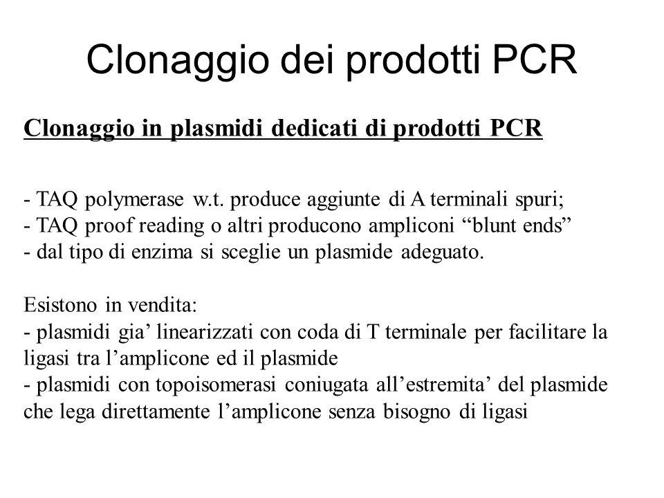 Clonaggio in plasmidi dedicati di prodotti PCR - TAQ polymerase w.t. produce aggiunte di A terminali spuri; - TAQ proof reading o altri producono ampl