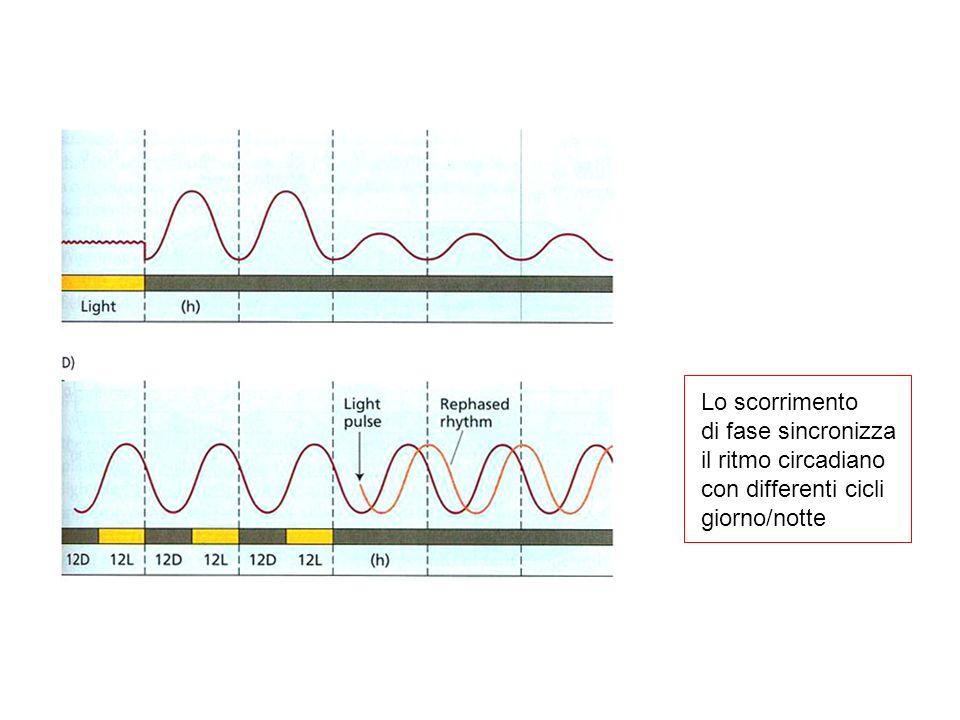 In condizioni naturali questi ritmi sono sincronizzati ad un periodo di 24 ore mediante segnali ambientali: Il segnale ambientale più importante è la