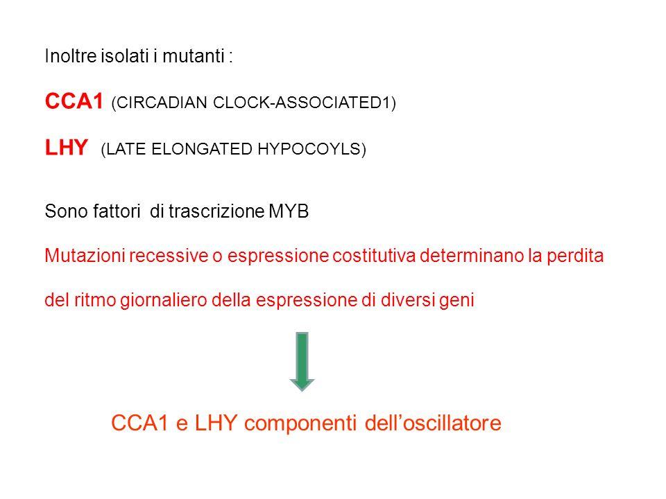 TOC1 Piantine trasformate con il gene della luciferasi sotto il controllo del promotore del gene LHCB (CAB) sistema gene reporter Il gene LHCB esibisc
