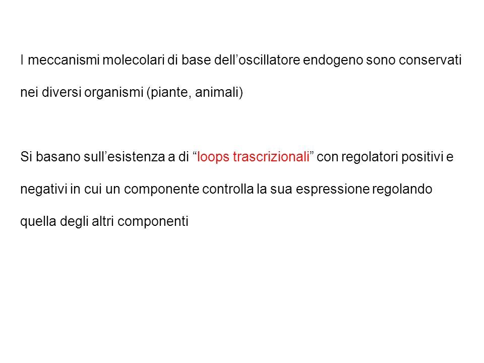 Inoltre isolati i mutanti : CCA1 (CIRCADIAN CLOCK-ASSOCIATED1) LHY (LATE ELONGATED HYPOCOYLS) Sono fattori di trascrizione MYB Mutazioni recessive o e