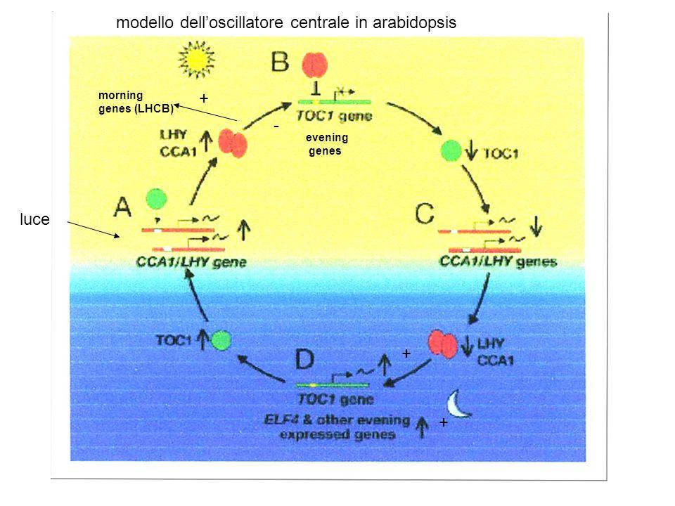 I meccanismi molecolari di base delloscillatore endogeno sono conservati nei diversi organismi (piante, animali) Si basano sullesistenza a di loops tr