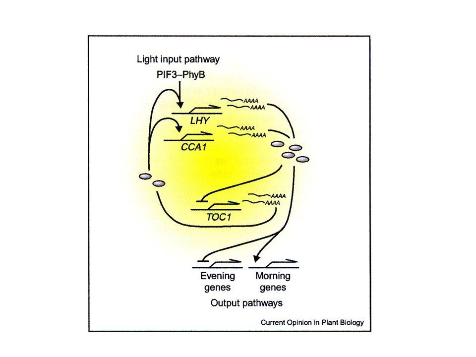 Per funzionare correttamente loscillatore deve essere sincronizzato con i cicli giornalieri giorno/notte dellambiente FOTORECETTORI (fitocromi, cripto