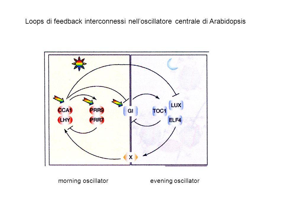 I geni delloscillatore hanno funzioni multiple (anche nelle vie di input e output) Loscillatore è formato da più loops interconnessi Gli outputs posso