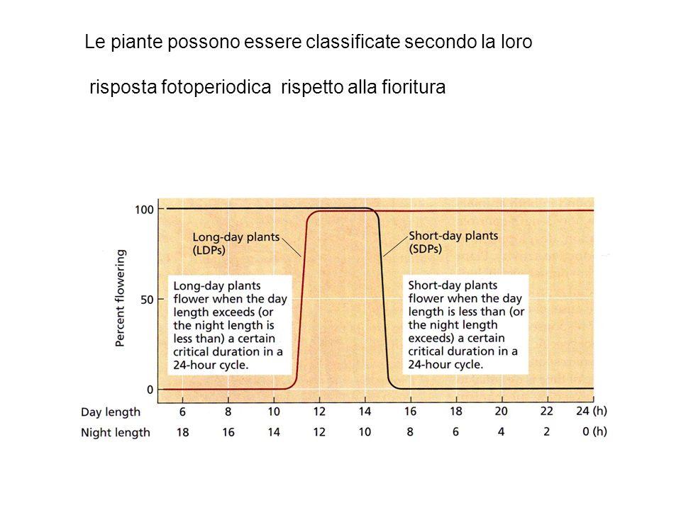 Effetto della latitudine sulla durata del giorno La risposta fotoperiodica è influenzata dalla latitudine alla quale la pianta cresce