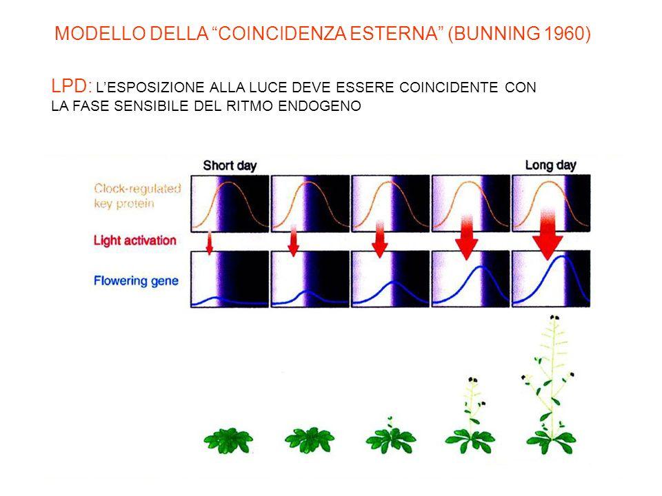 Quando il segnale luminoso è percepito durante la fase sensibile del ritmo si può avere induzione della fioritura (LDP) inibizione della fioritura (SD
