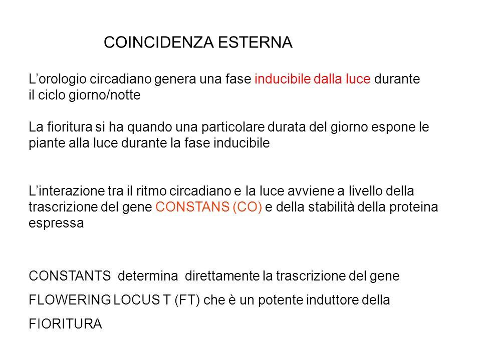 MODELLO DELLA COINCIDENZA ESTERNA (BUNNING 1960) LPD: LESPOSIZIONE ALLA LUCE DEVE ESSERE COINCIDENTE CON LA FASE SENSIBILE DEL RITMO ENDOGENO