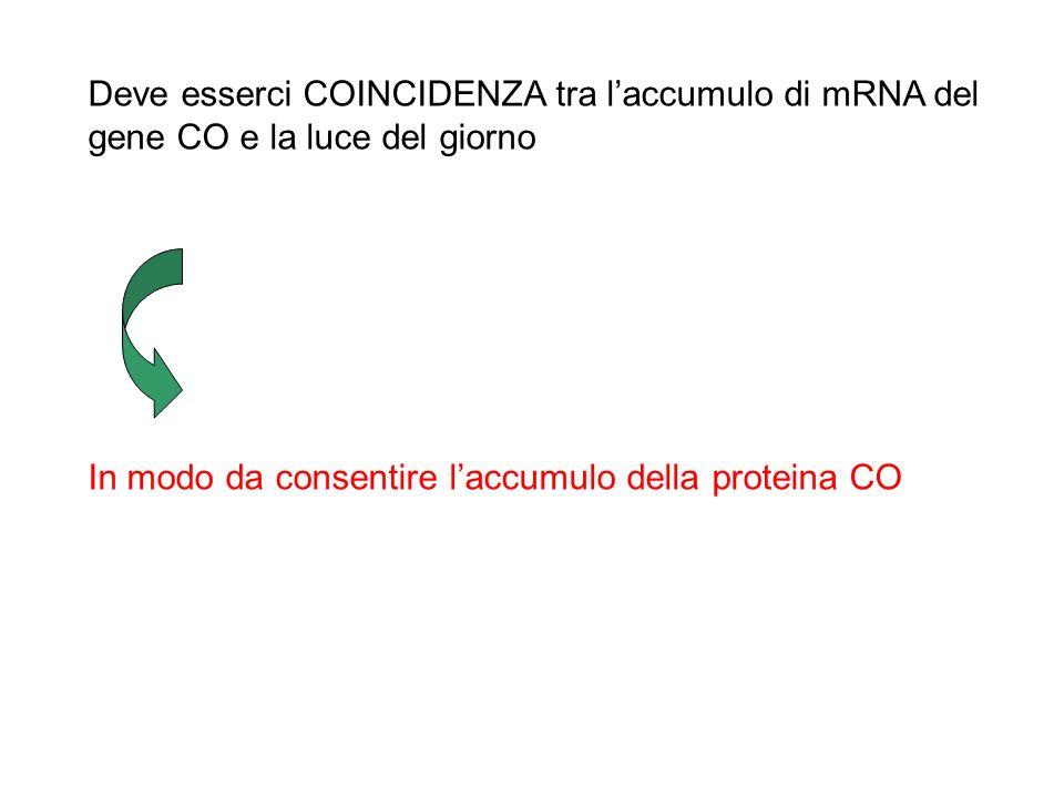 Modello della COINCIDENZA ESTERNA La luce ha due funzioni: resetta lorologio circadiano in modo da generare oscillazioni giornaliere di un regolatore
