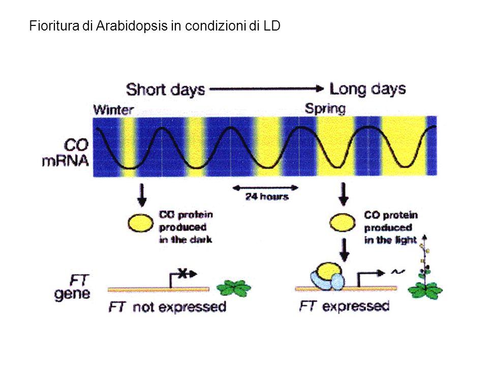 Deve esserci COINCIDENZA tra laccumulo di mRNA del gene CO e la luce del giorno In modo da consentire laccumulo della proteina CO