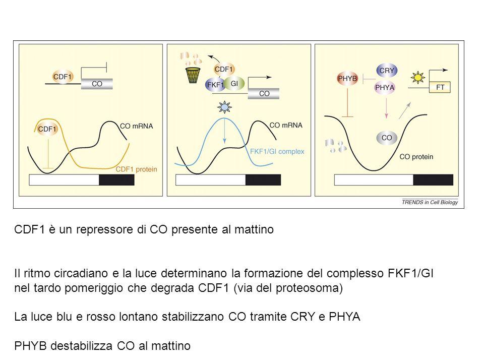 Come viene generato il ritmo giornaliero dei livelli della proteina CO? PhyB promuove la riduzione dei livelli di CO al mattino PhyA e criptocromi sta