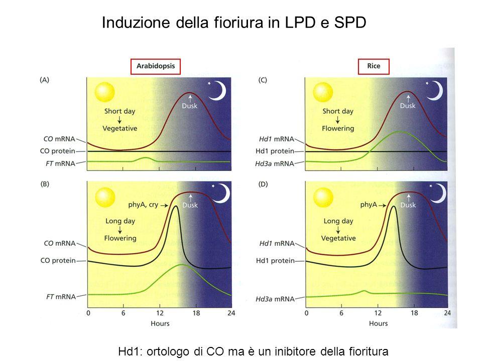 CDF1 è un repressore di CO presente al mattino Il ritmo circadiano e la luce determinano la formazione del complesso FKF1/GI nel tardo pomeriggio che