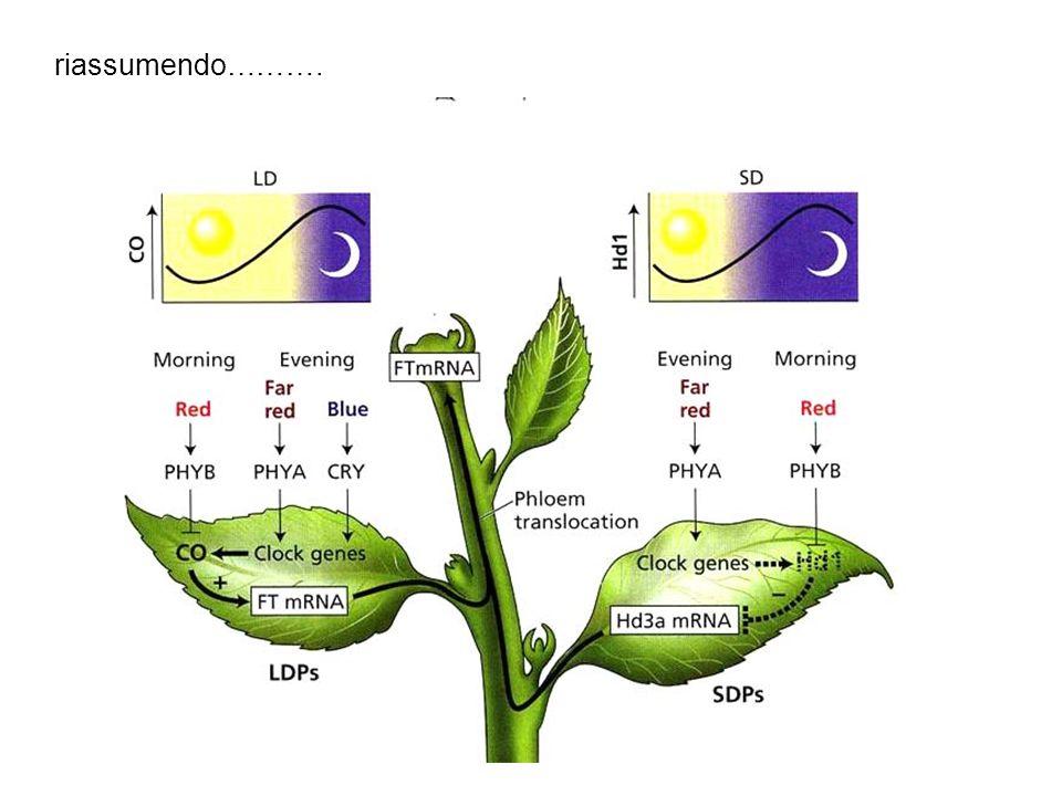 Induzione della fioriura in LPD e SPD Hd1: ortologo di CO ma è un inibitore della fioritura