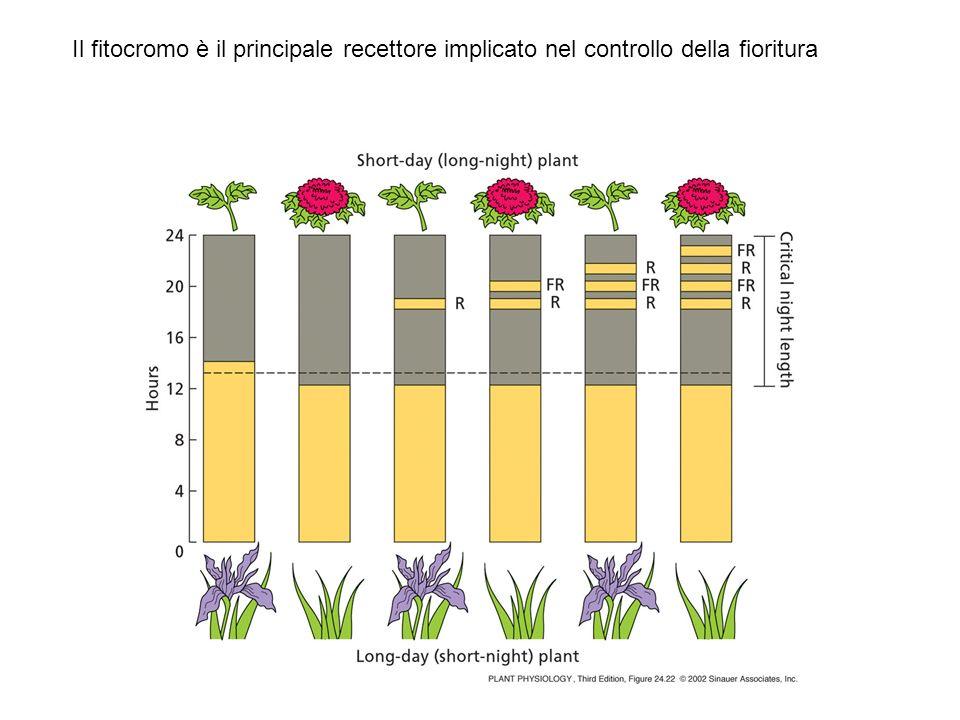 Molte risposte LFR possono essere anche HIR (de-eziolamento) sintesi di antociani in mostarda cresciuta al buio: spettro di azione con picco nel rosso