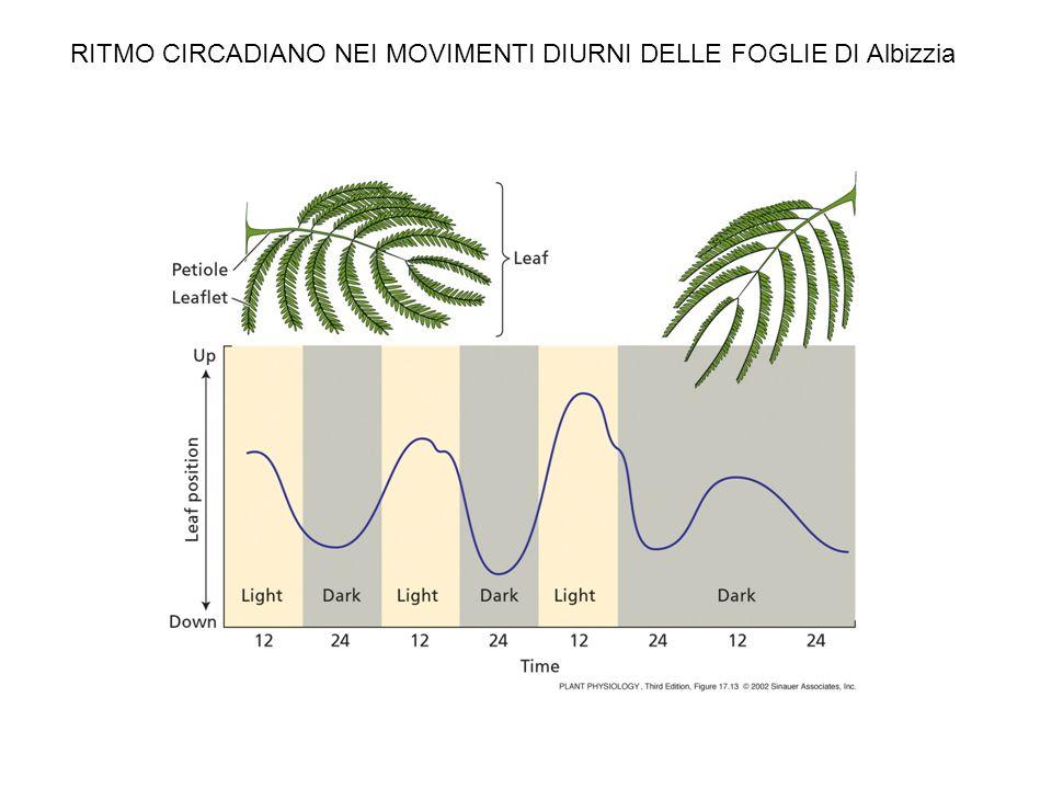 Loops di feedback interconnessi nelloscillatore centrale di Arabidopsis morning oscillator evening oscillator
