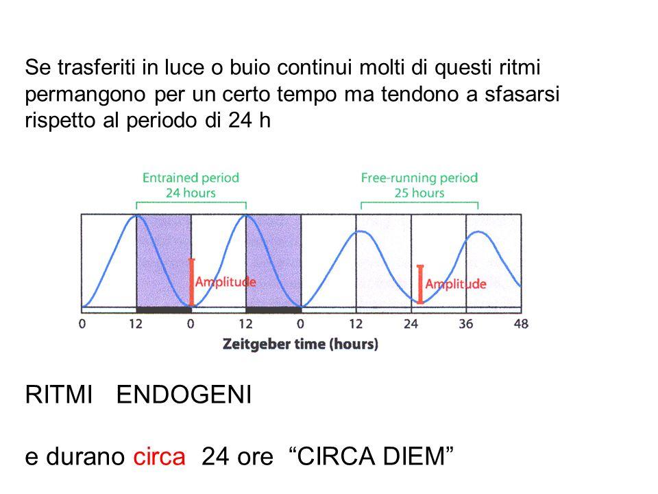 I ritmi endogeni assumono la forma di onde sinusoidali descrivibili in termini matematici da grandezze come periodo, fase, ampiezza