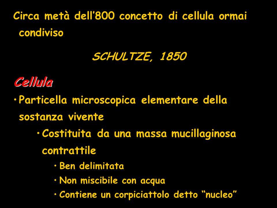 Circa metà dell800 concetto di cellula ormai condiviso SCHULTZE, 1850Cellula Particella microscopica elementare della sostanza vivente Costituita da u