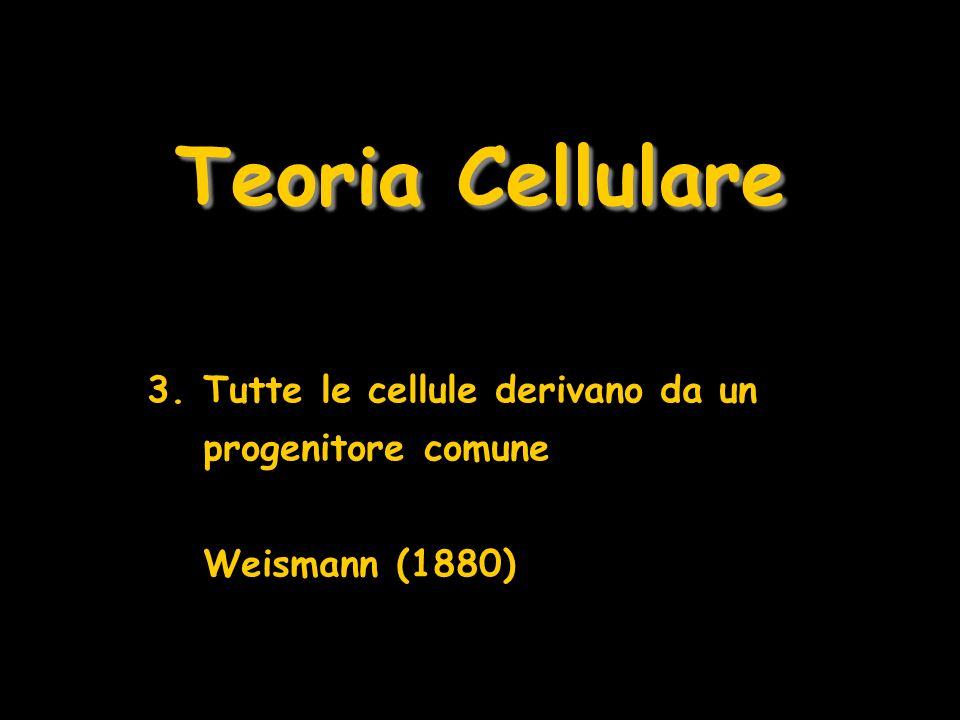 Teoria Cellulare 3.Tutte le cellule derivano da un progenitore comune Weismann (1880)
