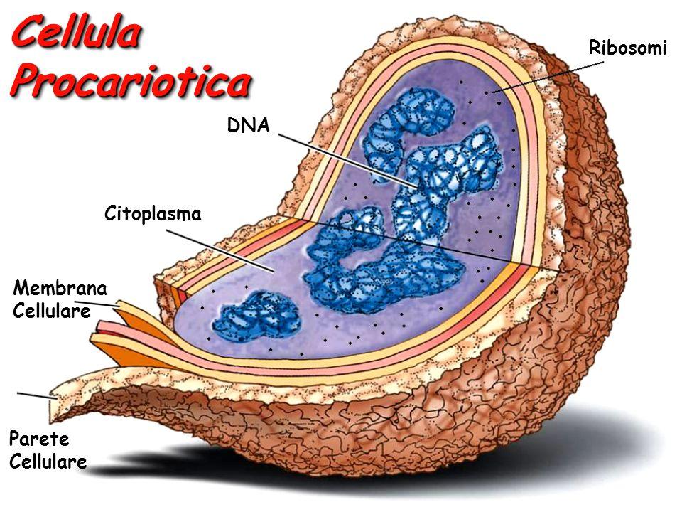 Cellula Procariotica Ribosomi DNA Citoplasma Membrana Cellulare Parete Cellulare