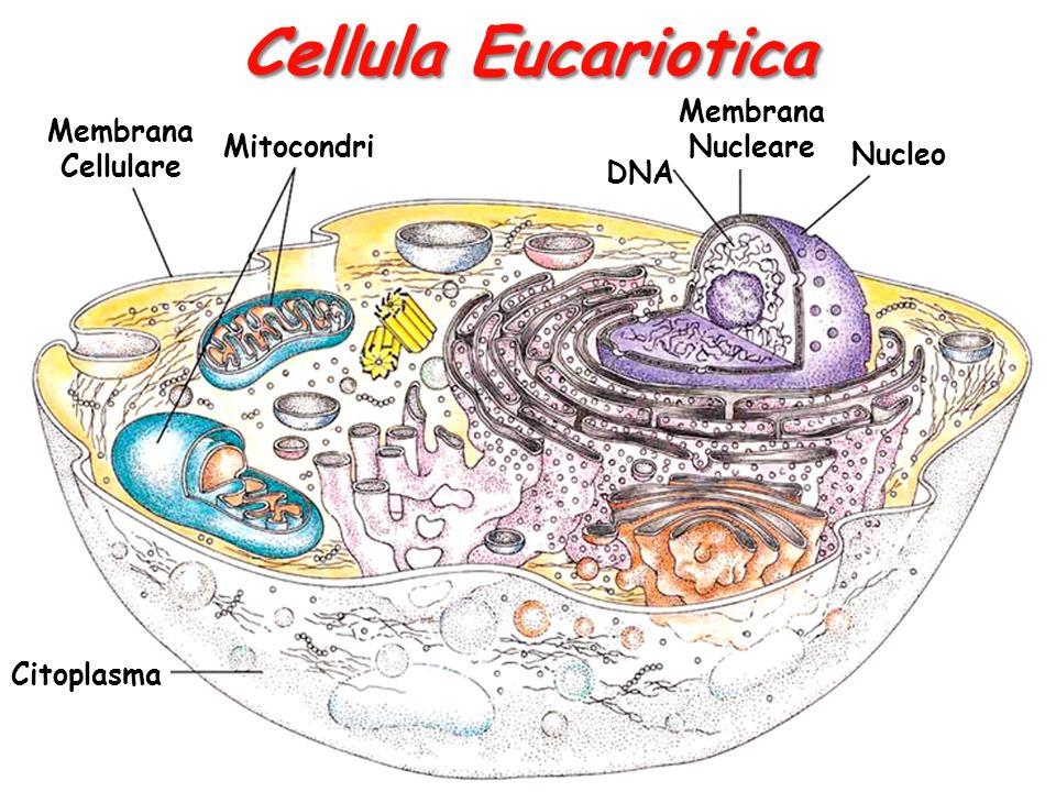 Cellula Eucariotica Membrana Cellulare Mitocondri Membrana Nucleare DNA Nucleo Citoplasma