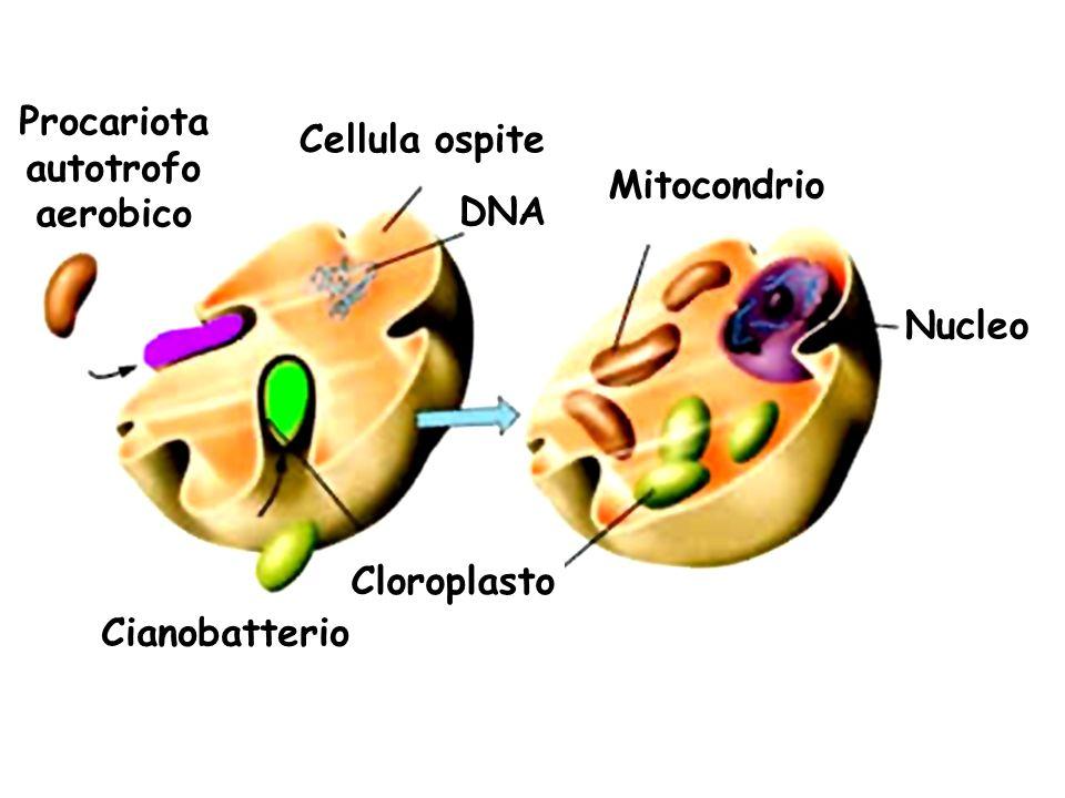 Cellula ospite DNA Cianobatterio Mitocondrio Cloroplasto Nucleo Procariota autotrofo aerobico
