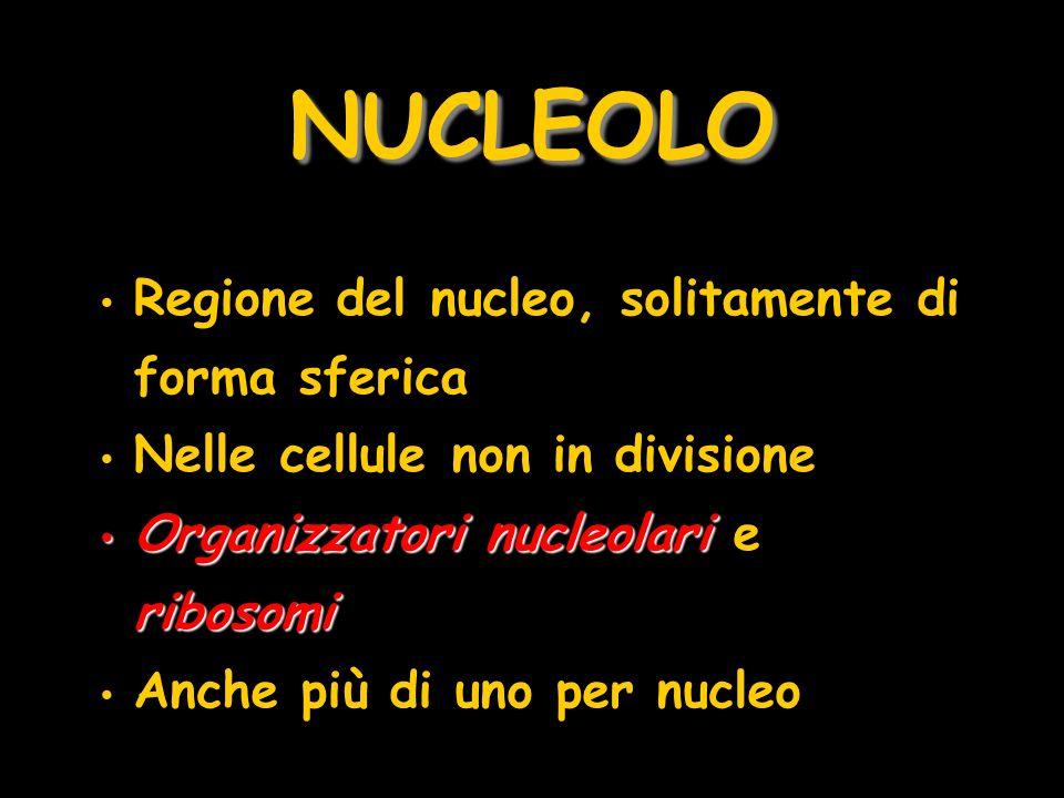 NUCLEOLO Regione del nucleo, solitamente di forma sferica Nelle cellule non in divisione Organizzatori nucleolari ribosomi Organizzatori nucleolari e