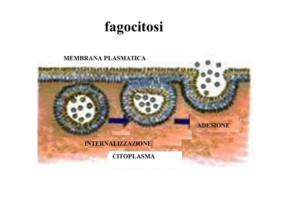 macropinocitosi La internalizzazione di fluido extracellulare avviene per mezzo della formazione di vescicole dette macropinosomi.