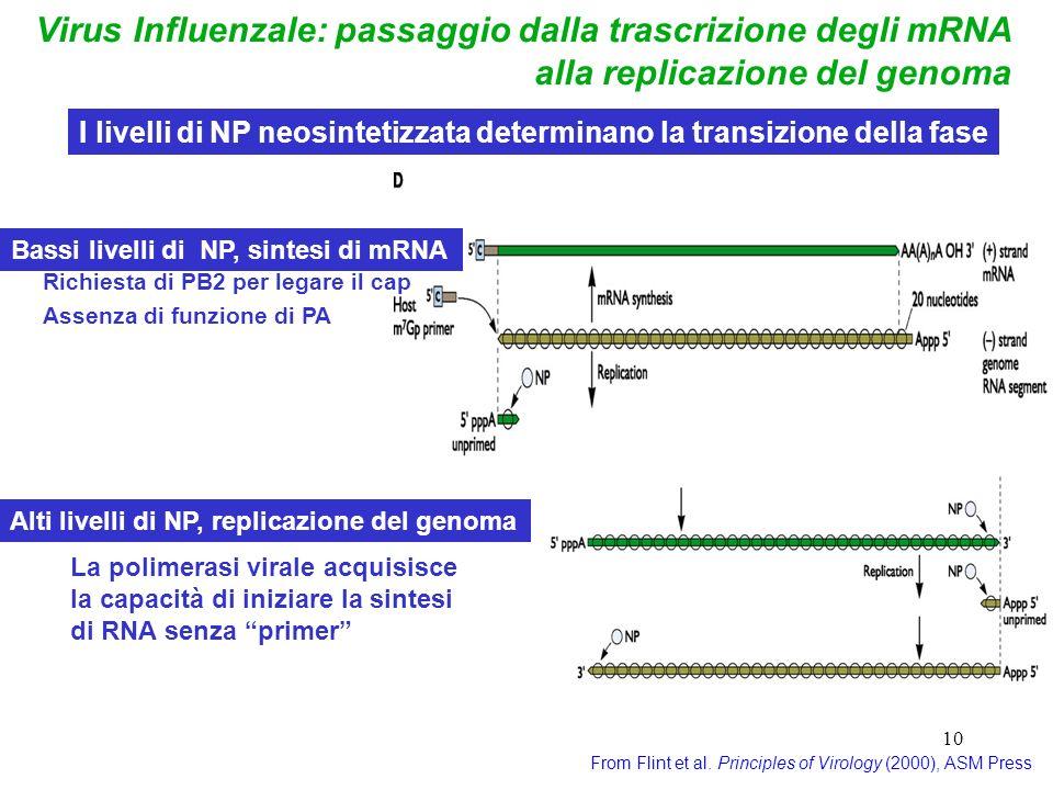 10 Virus Influenzale: passaggio dalla trascrizione degli mRNA alla replicazione del genoma From Flint et al. Principles of Virology (2000), ASM Press